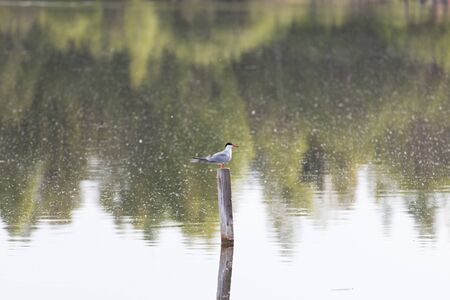 A seagull sits on a pole in the evening on a forest lake. 스톡 콘텐츠