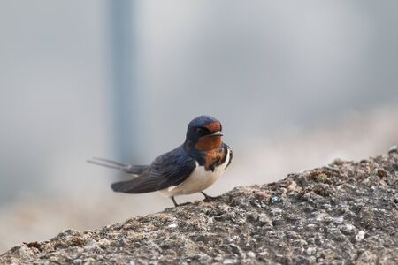 The barn swallow or killer whale (Latin Hirundo rustica) is a small migratory bird living in Europe, Asia, Africa and America. It has a long tail with a deep incision in the shape of a fork and curved long sharp wings. 스톡 콘텐츠