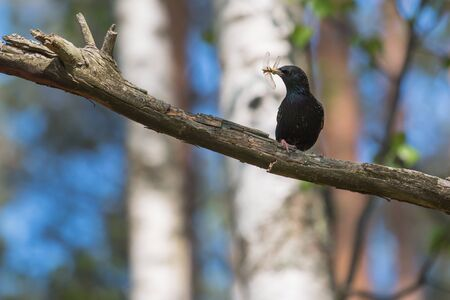 Starling sits on a branch of a dry tree with a dragonfly caught in its beak.