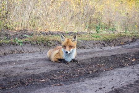 A rabid female red fox lying on a dirt road.