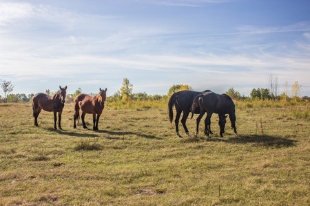 Two chestnut and two bay horses are grazing in a field of Samara Bend, Russia.