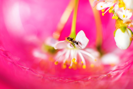 The ant is sitting on a cherry tree branch. A cherry blossom on a pink background. Fairy story Banco de Imagens