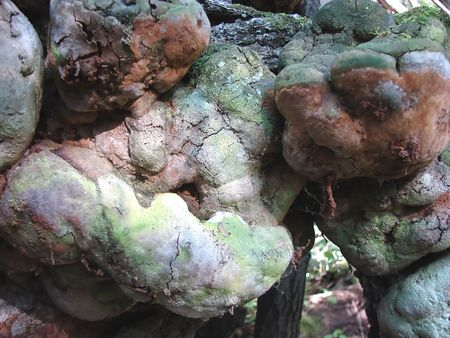 fungoid: The started illness of trees