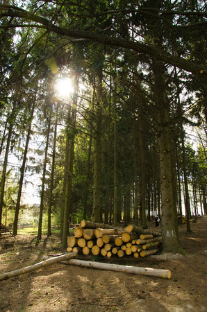 felling: Environment nature and deforestation forest concept felling of trees in the woods