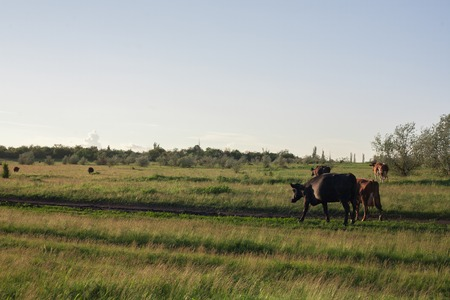 beast ranch: Cow on green grass and blue sky with light