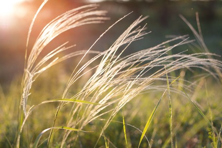 waterless: Feather grass in wind at sunset in the green field