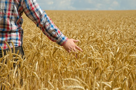 hands over ears: A young farmers hand above a wheat field with selective focus