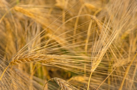 Close-up of ripe gold wheat ears background.