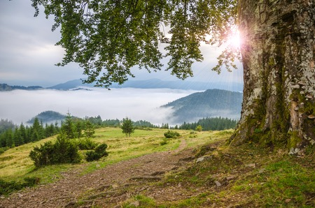 Old lonely beech with sunlight in the Carpathian mountains. Beautifull Ukraine landscape