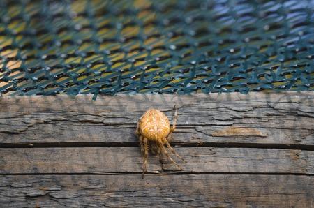 WEAVER: European garden spider, Araneus diadematus on the wood stick