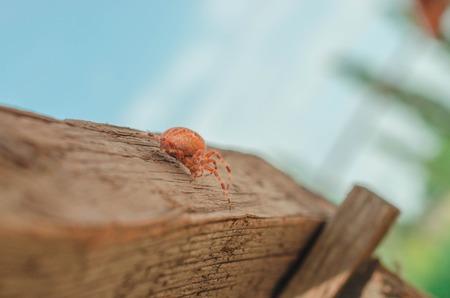 European garden spider, Araneus diadematus on the wood stick