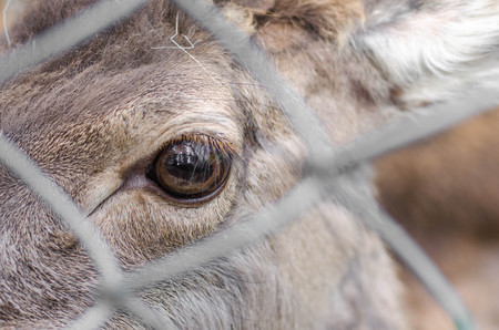 Close up eye of Elds deer in the zoo, with selective focus