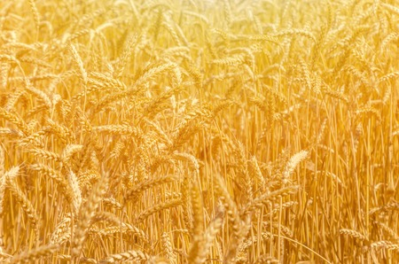 backdrop of ripening ears of yellow wheat field on the sunset cloudy orange sky background. Stock Photo