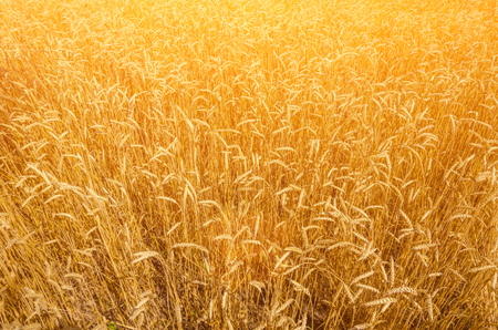 backdrop of ripening ears of yellow wheat field on the sunset cloudy orange sky background.