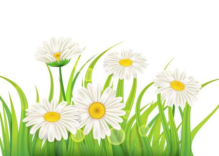 Frühlingskamillenhintergrund frisches grünes Gras