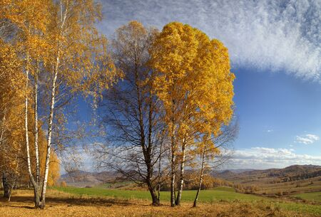 Yellow birch against the blue sky, autumn colorful view