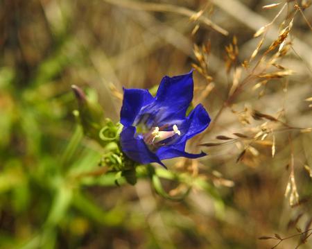 macrophotography: Gentianaceae