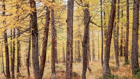 Forest of larch trees during autumn