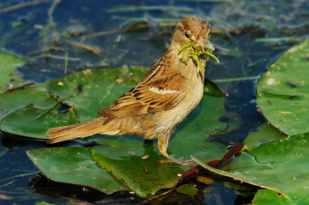 Sparrow with larvae in its beak photo