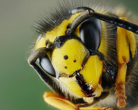 macro animals: Head of a wasp