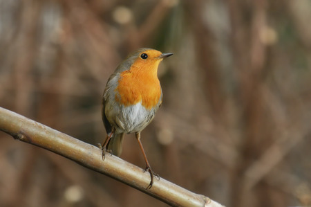 Robin on a branch photo