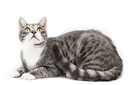 European cat isolated on a white background