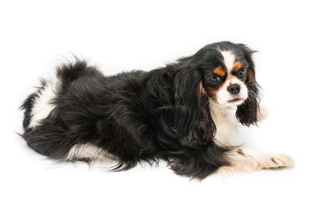 Cavalier King spaniel photo