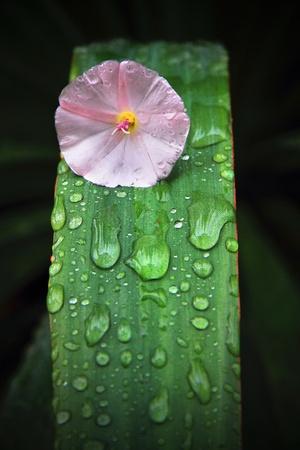 foglia: Fiore rosa su foglia di agave - Pink flower on a leaf of Agave