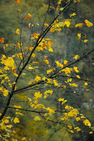 foglia: Foglie gialle in autunno - yellow leaves in autumn Stock Photo
