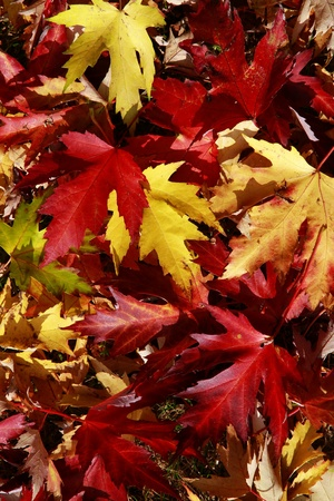 foglie: Foglie rosse e gialle in autunno - red and yellow leaves in autumn Stock Photo