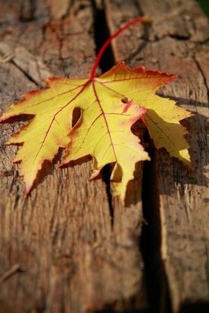 foglia: Foglia gialla su legno - Yellow leaf on wood