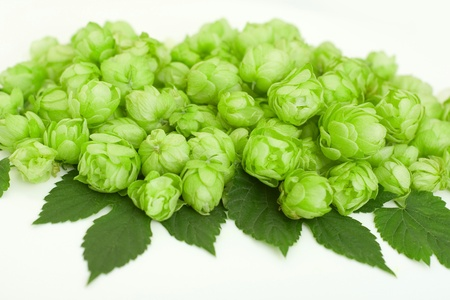 common hop: flowers and leaves of common hop Stock Photo