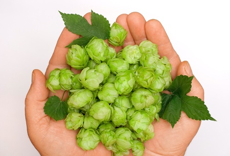 humulus: flowers and leaves of hop in the palm Stock Photo