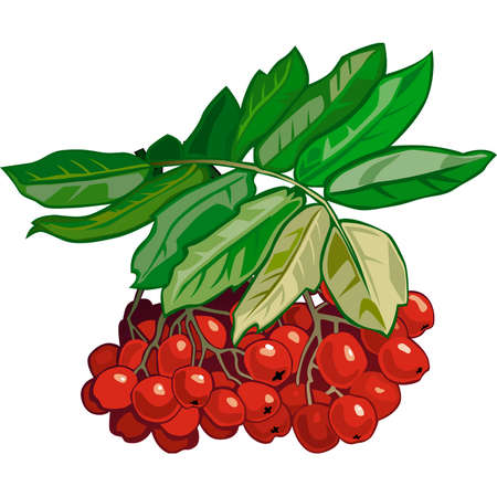 mountain ash: Red berries of a mountain ash on a branch with green leaves