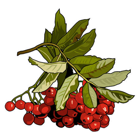 Red berries of a mountain ash on a branch with green leaves