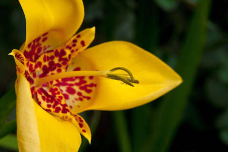 Yellow lily a close up a pestle and stamens on a green background