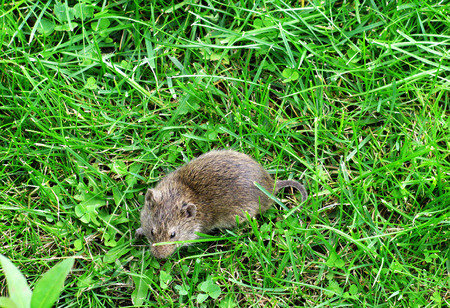 vole: Vield vole. Mouse on green grass Stock Photo