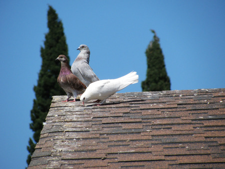 doublet: Domestic pigeons are sitting on the roof Stock Photo