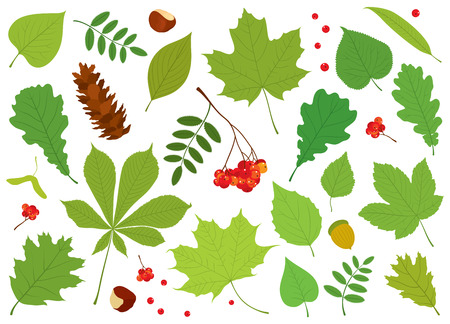 sycamore: set of different, colorful, isolated tree leaves, Rowan berries, acorn, chestnuts and pine cone on white background.