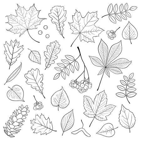 sycamore: Vector set of different, isolated, detailed outline tree leaves, bunch of Rowan and pine cone on white background. Hand drawn illustration in black for design.