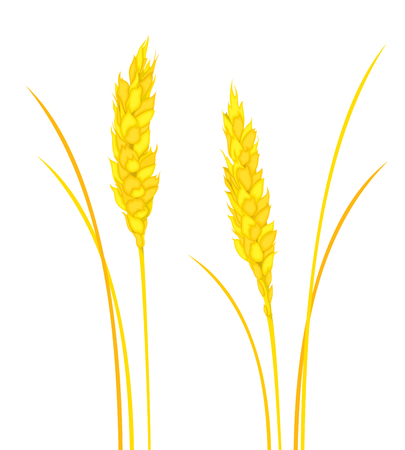 Vector set of colorful spikelets on white background. Illustration for design.