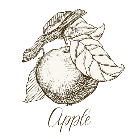 Highly detailed hand drawn apple.
