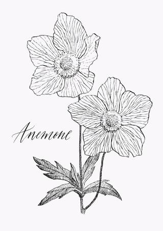 Vintage botanical illustration blossom flower. Anemone.