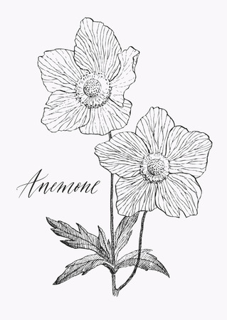 Vintage botanical illustration blossom flower. Anemone.