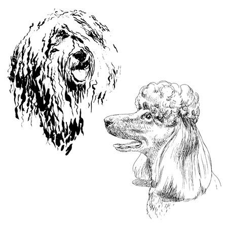 Een reeks tekeningen van volwassen hond poedel. Zeer gedetailleerd. Hand tekening schets. Inkt, penseel en pen. Een hond met een open mond, glimlachend, ze is heet