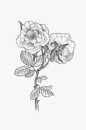 ヴィンテージ植物イラスト花。花のコンセプトです。ボタニカのコンセプトです。ベクター デザイン。