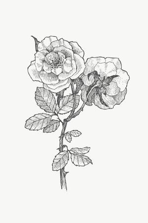 Vintage botanische illustratie bloem. Bloem concept. Botanica-concept. Vector ontwerp.