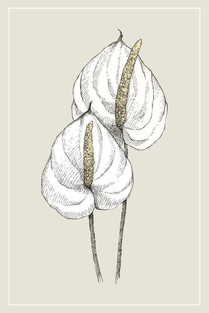 ヴィンテージ植物イラスト花アンスリウム。フラワーコンセプト。ボタニカコンセプト。ベクターデザイン。