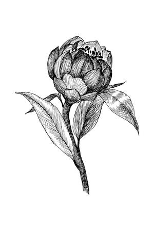 Vintage botanical linear illustration exotic flower. Flower concept. Botanica concept. Vector design. Stock Photo