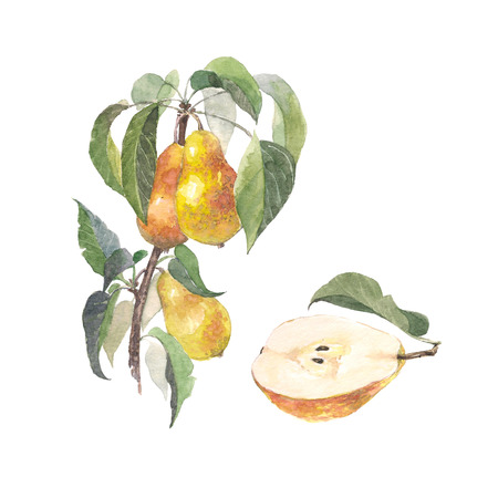 Watercolor fruit pear branch. Details of garden plant. Raster version. Hand drawing painting on white background